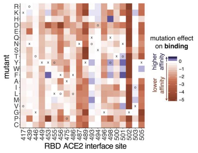 Mutazioni del coronavirus e loro effetto sull'affinità di legame del recettore ACE2 ( Starr et al. )